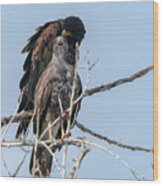 Harris Hawks Wood Print