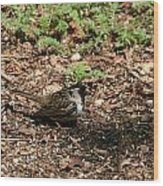 Harris Sparrow Collecting Seeds Wood Print