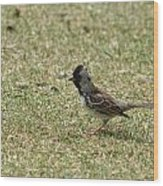 Harris Sparrow On Grass Wood Print