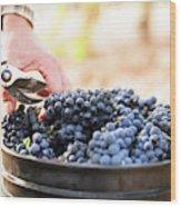 Harvest At Vineyard In Santa Cruz Wood Print