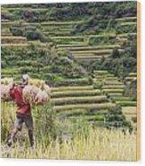 Harvest Season In Rice Field Wood Print