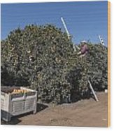 Harvesting California Orange Crops Wood Print
