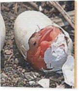 Hatching Pelican Wood Print