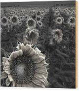 Haunting Sunflower Fields 1 Wood Print