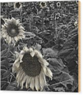Haunting Sunflower Fields 2 Wood Print by Dave Dilli