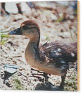 Lost Baby Duckling Wood Print