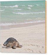 Hawaiian Green Turtle / Chelonia Mydas Wood Print