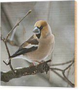 Hawfinch Wood Print