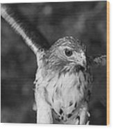 Hawk Attack Black And White Wood Print