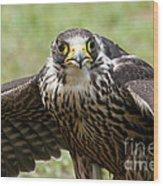 Hawk Eyes Wood Print
