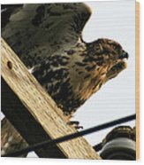 Hawk On Telephone Pole Wood Print
