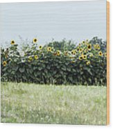 Hay Bales And Sunflowers Wood Print