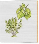 Hazel (corylus Avellana) Tree, Artwork Wood Print