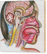 Head And Neck Anatomy Wood Print