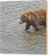 Head Grizzly Bear With Intense Fishing  Focus For Salmon In Moraine River In Katmai Np-ak Wood Print