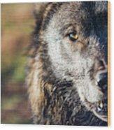 Headshot Of Wolf, Rapid City, South Wood Print