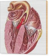 Heart Anatomy, Artwork Wood Print by Science Photo Library