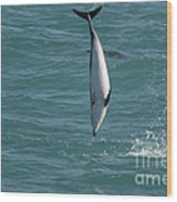 Hector Dolphin Diving Wood Print