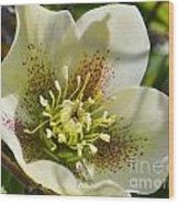 Helleborus Bright Wood Print