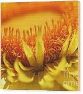 Helichrysum Bracteatum Named Strawburst Yellow Wood Print