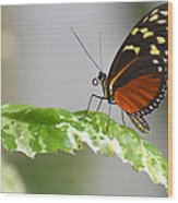Heliconius Butterfly On Green Leaf Wood Print
