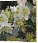 Hellebore And Friends Wood Print