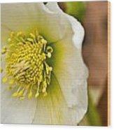 Helleborus 5 Wood Print