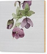 Helleborus Atrorubens Wood Print by Sarah Creswell