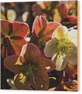 Helleborus Backlight Blossoms Wood Print