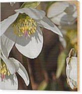 Helleborus Niger - Christrose Wood Print