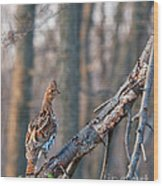 Hen Ruffed Grouse On Roost Wood Print