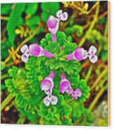 Henbit At Chickasaw Village Site At Mile 262 Of Natchez Trace Parkway-mississippi Wood Print