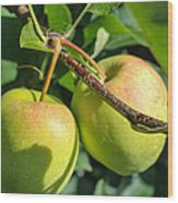 Henderson County Apples II Wood Print