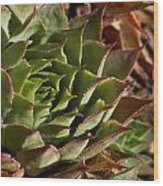 Hens And Chicks Sedum 1 Wood Print