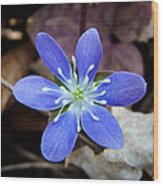 Hepatica Blue Wood Print