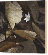 Hepatica In Filtered Light Wood Print