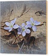 Hepatica Wildflowers - Hepatica Nobilis Wood Print