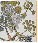 Herbal: Fennel, 1819 Wood Print