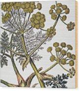 Herbal: Fennel, 1819 Wood Print