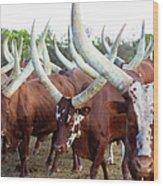 Herd Of Ankole-watusi Cattle, Kenya Wood Print