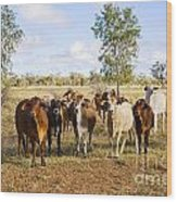 Herd Of Brahman Cattle In Outback Queensland Wood Print