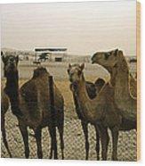 Herd Of Camels In A Farm, Abu Dhabi Wood Print