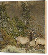 Herd Of Cow Elk   #7672 Wood Print