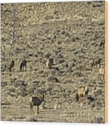 Herd Of Elk   #3218 Wood Print