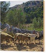 Herd Of Sheep In Tuscany Wood Print