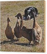 Herding Ducks Wood Print