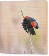 Here I Am Ladies - Red-winged Blackbird Wood Print