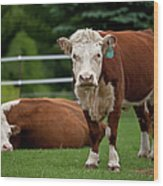 Hereford Cows In Green Pasture Wood Print