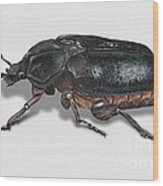 Hermit Beetle - Russian Leather Beetle - Osmoderma Eremita - Pique Prune - Erakkokuoriainen Wood Print by Urft Valley Art