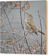 Hermit Thrush Wood Print